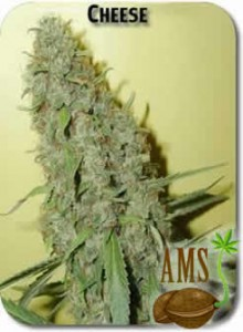 Cheese_Seeds