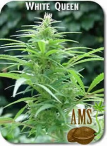 White_Queen_Seeds